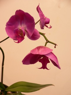 orchids birthed